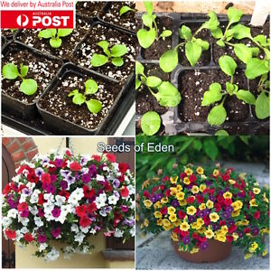 """100 PETUNIA 'MIXED COLOURS"""" SEEDS; Easy to grow and colourful"""