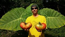Giant tomato seeds from over 3lb fruit.  Big Zac!!!! 10 + seeds.Rare !!!!