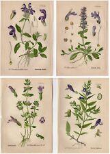 FOUR 1904 Antique Prints: PURPLE FLOWERS SELFHEAL CALAMINTA Botanical Decor Gift