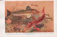 1911 Naturale Storia Double Sided Stampa ~ Gurnards/Naturale Colori di Pesci