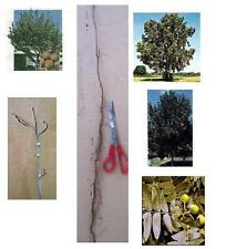 3 Pecan Trees, 10+in. - Bareroot Hardy Fast Growing Nut & Shade - Order Early!!!
