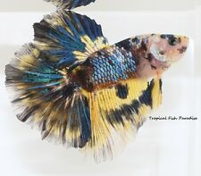 Teal/Yellow Multi Imported Halfmoon KOI HM betta Fish PAIR***MALE/FEMALE*******