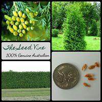 20+ NORTHERN WHITE CEDAR SEEDS (Thuja occidentalis) BONSAI Hedge Evergreen