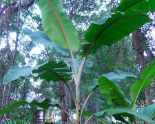 Musa -  'Manzano' -  Banana Tree - Bananas w/ hint of Apple flavor