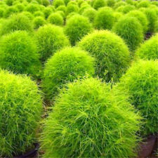 100pcs Kochia Scoparia Seeds Evergreen Plant Rapid Grow Grass Decorative Garden