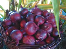 Organic Seed Vegetable Suffolk Herbs Onion North Holland Blood Red
