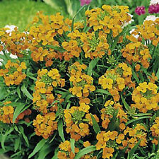 Siberian Wallflower 100+ Seeds Organic Newly Harvested