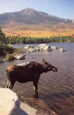 Moose at Sandy Stream Pond -  Greeting Cards - Maine artist, Jean McLean