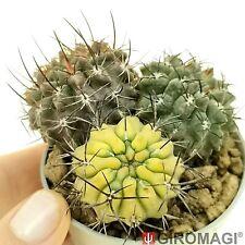 Neoporteria taltalensis f. variegated ネオポルテリア POTØ6,5cm - GIROMAGI Cactus