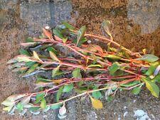 rare! persicaria praetermissa  plante  aquarium