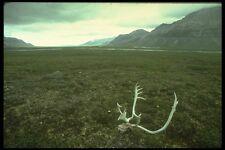 176007 caribou des bois près de anatuvik Brooks Range Alaska A4 papier photo