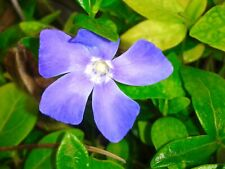 VINCA MAJOR GREATER PERIWINKLE HARDY FLOWERING TRAILING GROUNDCOVER IN 9CM POT