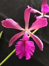 Encyclia Cordigera X Epi. Purple Glory Orchid Bloom Size Plant Fragrant Bloom10