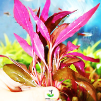 Alternanthera Roseafolia Bunch BUY2GET1 Freshwater Live Aquarium Plant Red Stems