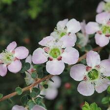 Leptospermum squarrosum (Tea Tree) in 50mm forestry tube native plant