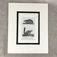 1791 Originale Antico Stampa Criceto Squirrel 18th Secolo Buffon Naturale Storia