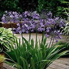 20 x BLUE AGAPANTHUS orientalis Lilly of the Nile seedling plants in 40mm pots