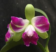 Cattleya Rlc Village Chief North Green Genius Blooming Size Orchid 1073