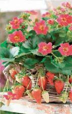 Fruit - Strawberry - Tristan - 5 Seeds