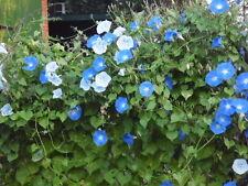 Trichterwinde Prunkwinde blau Ipomoea tricolor Samen Saatgut Saat Profiqualität