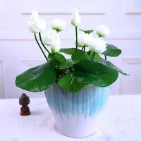 20 Chinese Bowl Lotus  flower seeds Garden Aquatic plants