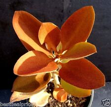 RARE Kalanchoe ORGYALIS COPPER SPOONS Succulent Plant Cutting (Top Part)