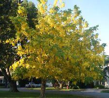 Golden Rain Tree (Koelreuteria paniculata)