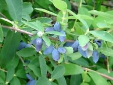 LONICERA CAERULEA EDULIS 'HONEY BEE' - HASKAP - STARTER PLANT - DORMANT