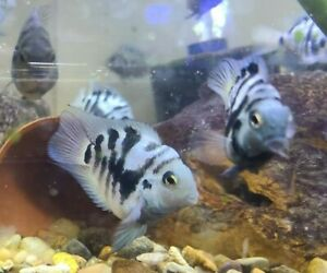 Live Polar Blue Zebra/Tiger Parrot Cichlid *PLS READ DESCR*