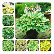 Hosta Seeds Perennials Plantain Lily Flower White Lace Ground Cover Plant Garden