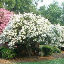 35+ Crape Myrtle Tree Seeds /  Perennial  / White