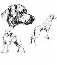 Rhodesian Ridgeback - 1963 Vintage Dog Print - Matted *
