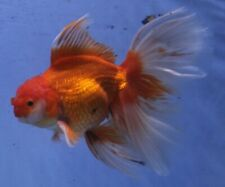 LIVE FISH: Thai Butterfly-tail Oranda 7-8IN - MALE - High Quality