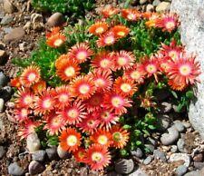 30 Seeds Delosperma Flowers Rare Beautiful Kinds Bonsai Potted Plants Home Decor