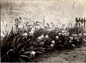 Jardin, fleurs Vintage silver print Tirage argentique  8x11  Circa 1900  <