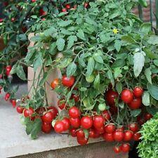 Rare Dwarf Cherry Tomato Seeds Christmas Tree Heirloom NON GMO