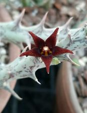 Huernia semitubiflora rare plant / stapelia/ huernia/ caralluma