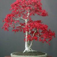 Noble Seed  Red Maple Tree  Perennial Indoor  Bonsai Plant  Lush 10 Pcs /bag