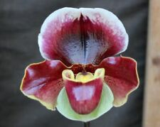 Orchids Paph. Professional x California Girl -Flower!