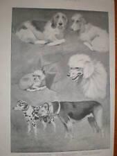 Kennel CLUB DOG SHOW CECIL ALDIN stampa 1894