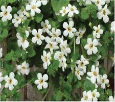 Fleur-Bacopa snowtopia - 50 graines enrobées-Sachet en vrac