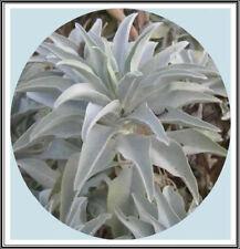 800mg California White Sage 400+ Seeds~Sacred Salvia Apiana Ceremonial Aromatic