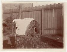 Photograph of a terrier on a wicker chair (C34345)