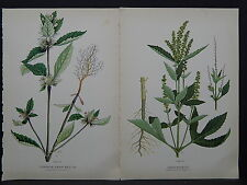 Canadian Farm Weeds c.1910 Common Hemp Nettle Great Ragweed Two Prints S3#11