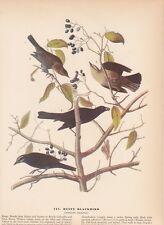 "1942 Vintage AUDUBON BIRDS #157 ""RUSTY BLACKBIRD"" Color Art Plate Lithograph"