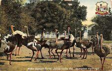 # M1327 Jacksonville, Fl. Postcard, Ostrich Farm