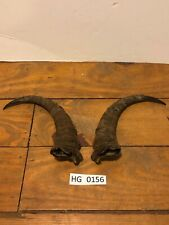 Goat Horn pair Rustic Exotic Country Outdoors Wildlife ranch Decoration Hg0156