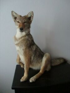 Coyote mount sitting medium size in good condition nice detail a good mount .