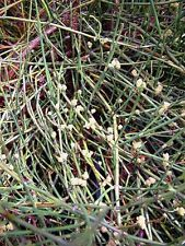 100 Samen Seeds  Ephedra sinica MEERTRÄUBEL  no Ephedra Pills  Ma Huang *GÜNSTIG