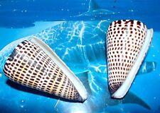 """Two (2) Conus Litteratus Cone Sea Shells 3"""" to 4"""" Beach Decor Craft"""